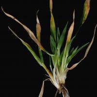 Emerging seedlings have many spiky stunted tillers
