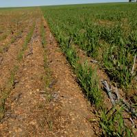 Stunted early growth with reduced tillers