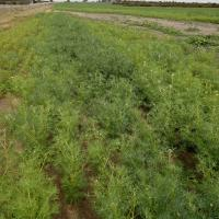 Poor germination or smaller yellow plants, in water collecting areas
