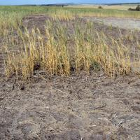 Bare saline area with surviving plants dying prematurely.