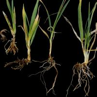 Worst plants have thickened coleoptiles and stubby roots. Less affected plant can resemble have root lesion nematode damage