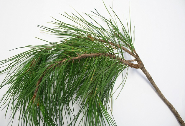 Pine Tree Photos And Identification Agriculture And Food