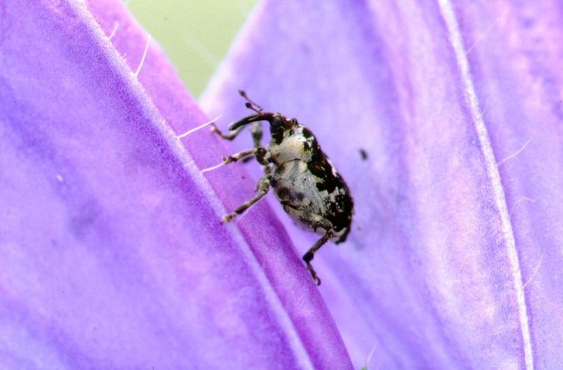 Crown weevil, biological control of Paterson's curse