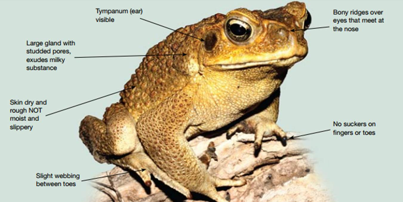cane toad Cane toads kill dogs if you have a dog that shows interest in toads do the following:-keep your dog inside after dark only allow your dog outside on lead.