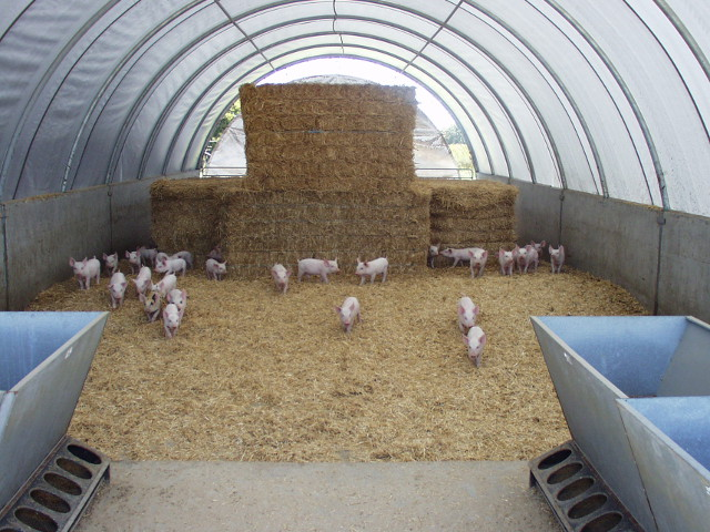 Feeding pigs | Agriculture and Food