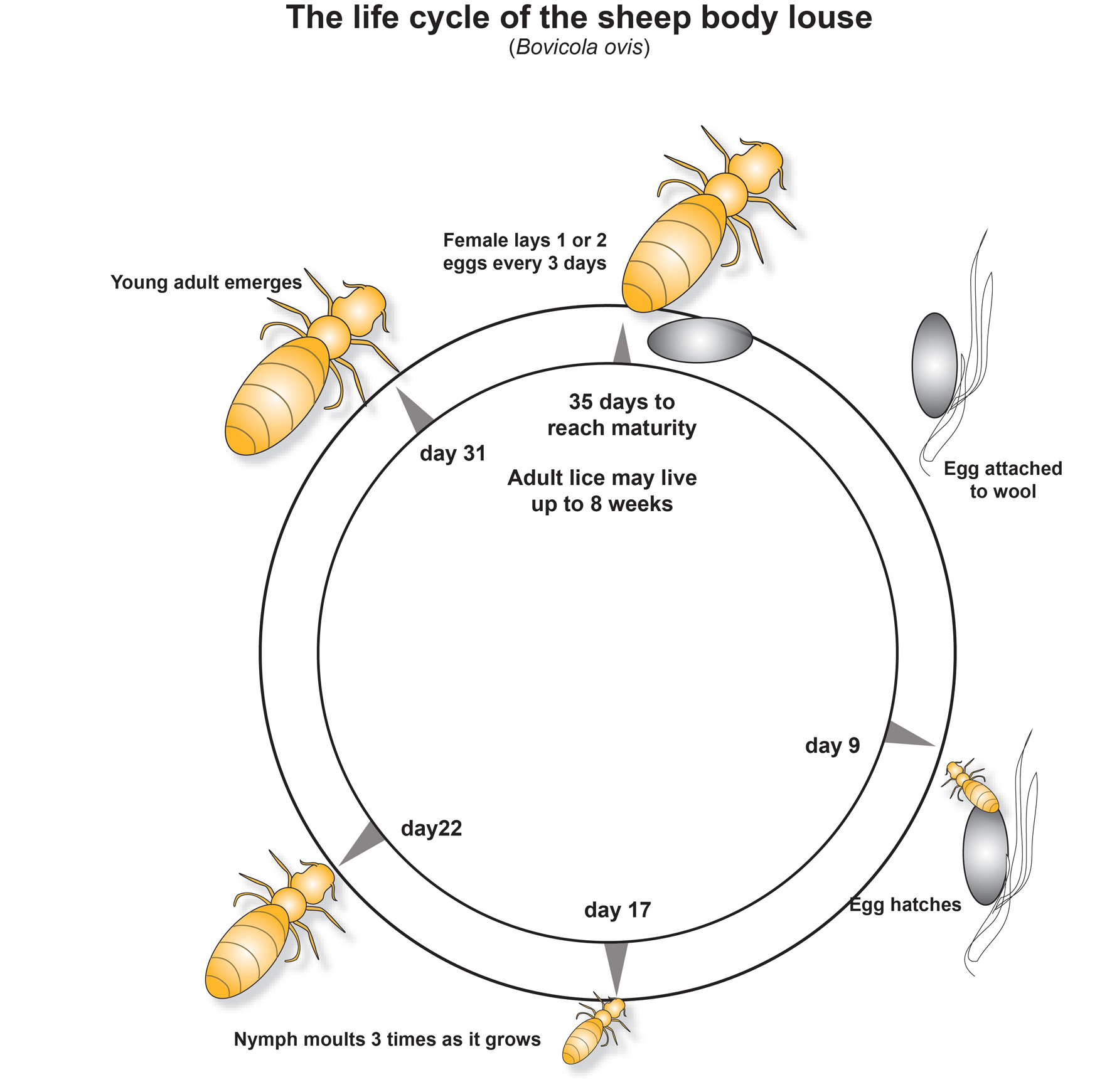 Poultry Lice Life Cycle Pictures to Pin on Pinterest