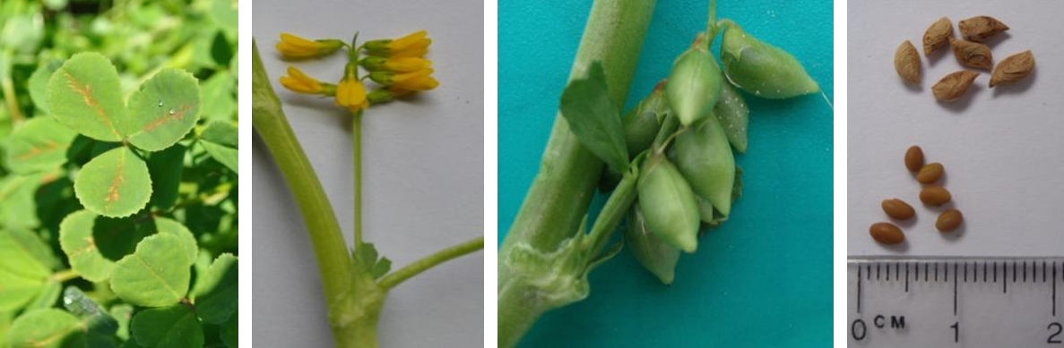 four photos 1. leaf, showing typical early season red-orange flecking; 2. flowers; 3. developing pods; and 4 mature pods and seed