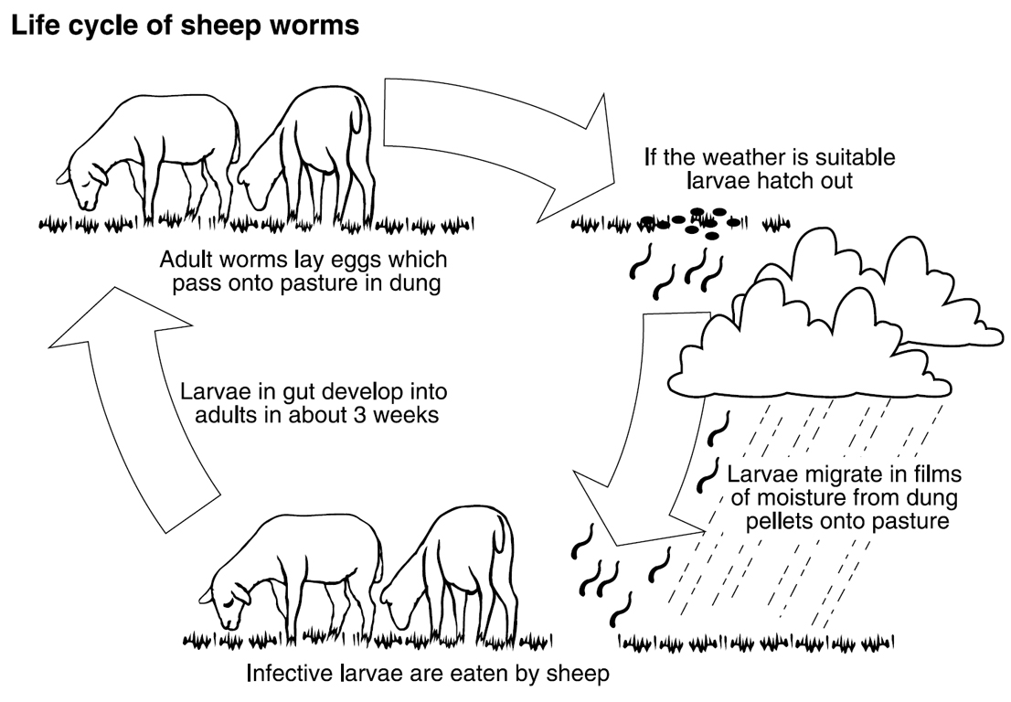 Adult worms lay eggs which pass onto the pasture in dung, before hatching. The infective larvae are then eaten by sheep.