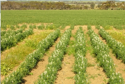 A lupin crop where simazine has been sprayed over the row