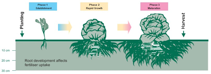 Growth phases of cabbage from planting to harvest; phase 1 is establishment, phase 2 is rapid growth and phase 3 is crop maturation
