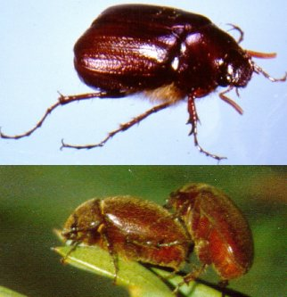 Cockchafer Adults