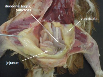 Coelomic cavity showing location of duodenal loops, pancreas, ventriculus and jejunum