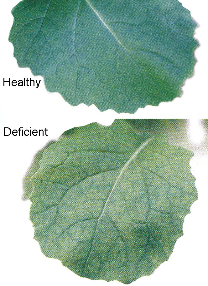 Diagnosing copper deficiency in canola agriculture and food for Soil zinc deficiency