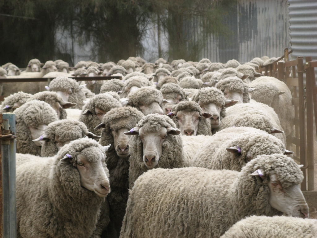 Sheep Industry Business Innovation (SIBI) newsletter 5