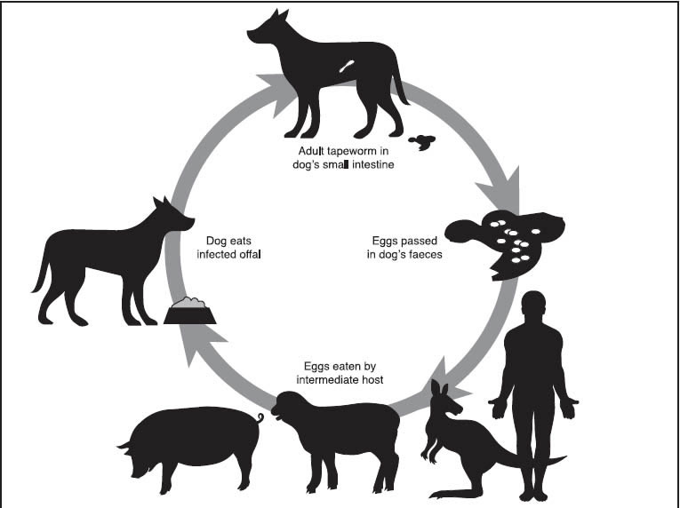 the lifecycle of the tape worm to hydatid in sheep: adult tapeworm in dog's  small