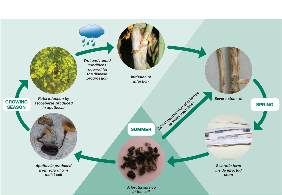 Disease cycle of Sclerotinia in Canola