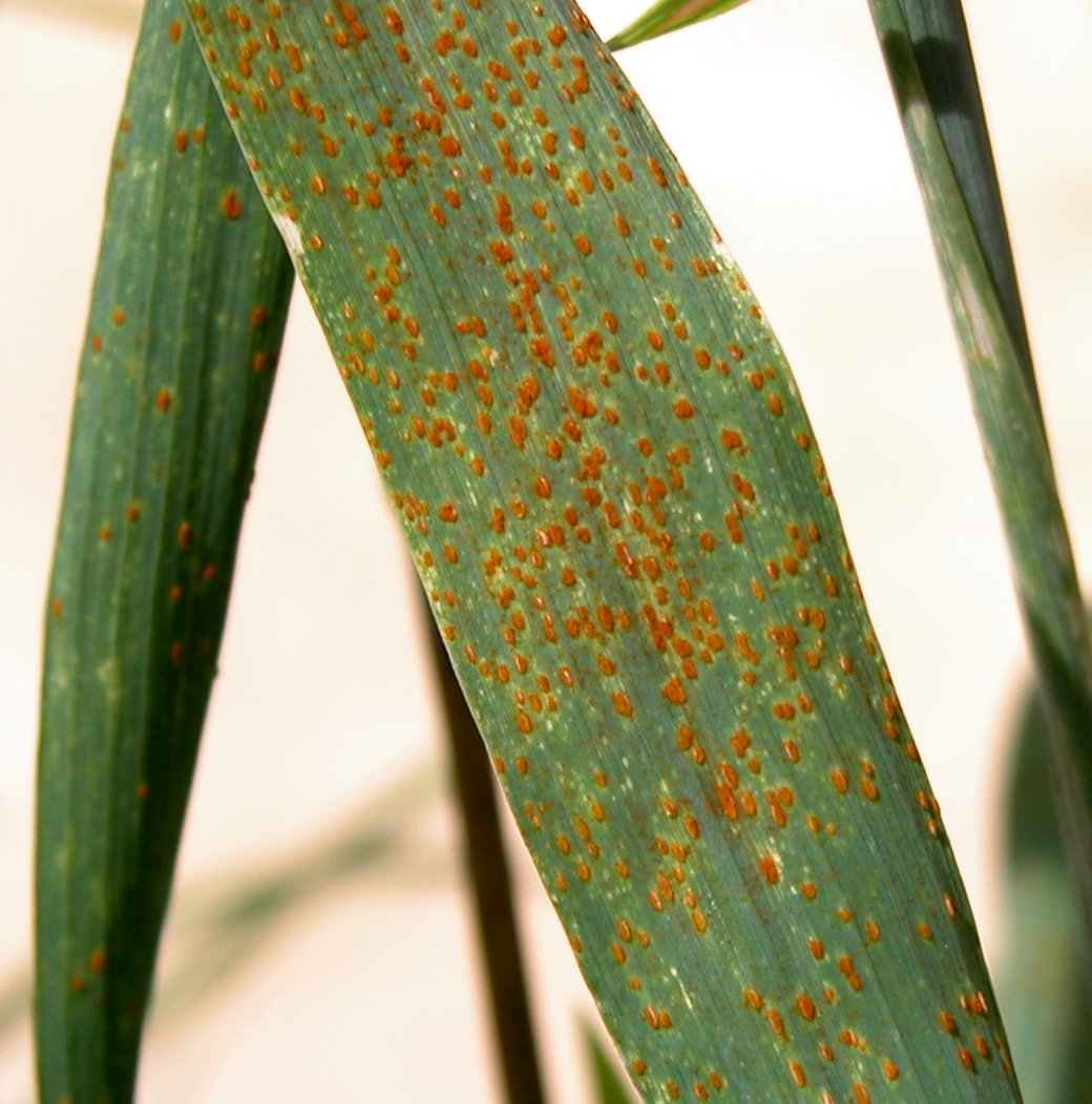 Diagnosing leaf rust of wheat | Agriculture and Food