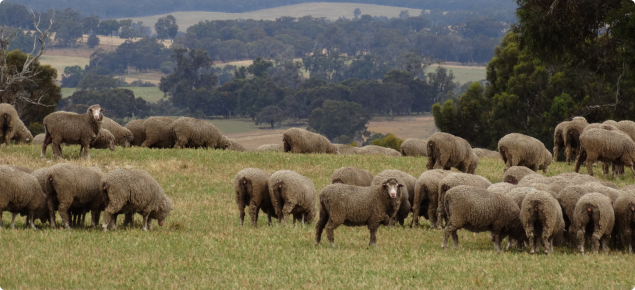 mob of sheep grazing green pasture