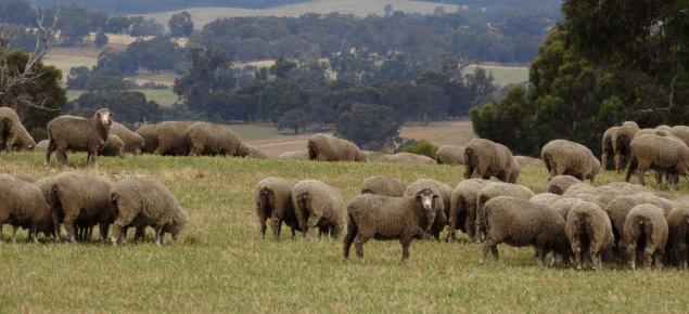 Merino ewes grazing