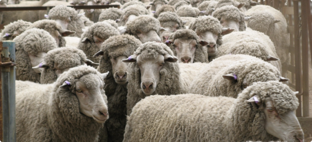 Arthritis in sheep | Agriculture and Food