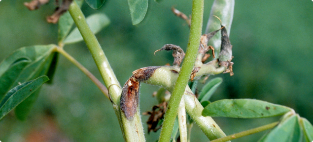 Photograph of the top branches of a albus lupin plant. Two of the branches have severe lesions on them and the branches have broken at the lesion and have bent over. The lesions are about two centimetres long, dark brown ring outside, orange at centre.