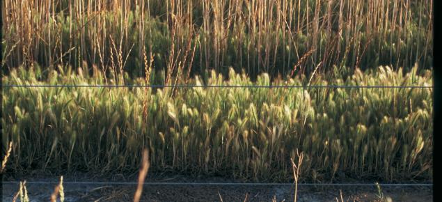 Barley grass in crop