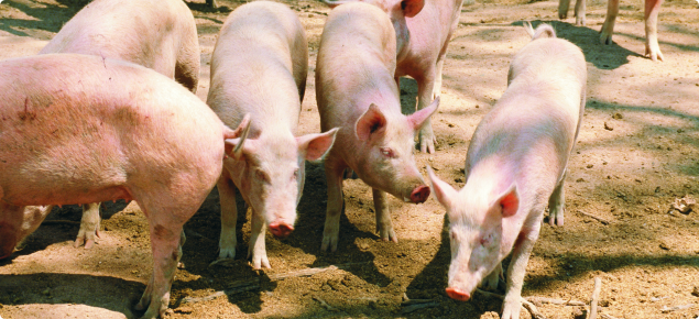 Nine pink adult free range pigs standing in various positions on dirt.