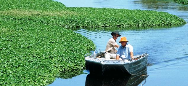 Water hyacinth (Eichhornia crassipes) infestation