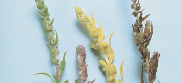 Kochia flowers: displays the different colours of kochia plants