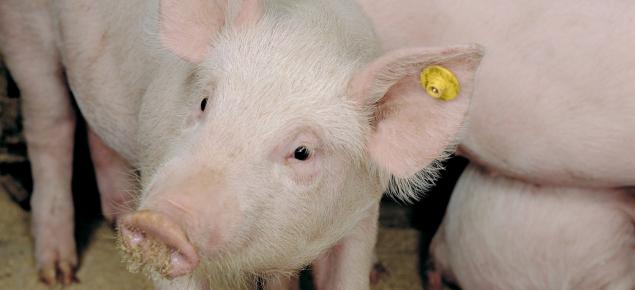 Healthy looking weaner pig amongst pen mates