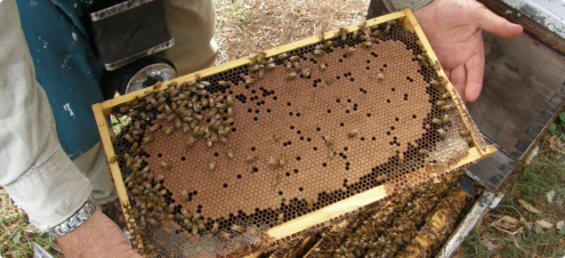 Typical healthy brood which covers a large proportion of a frame in an arc.