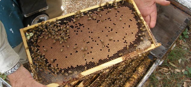 Picture of a healthy bee brood