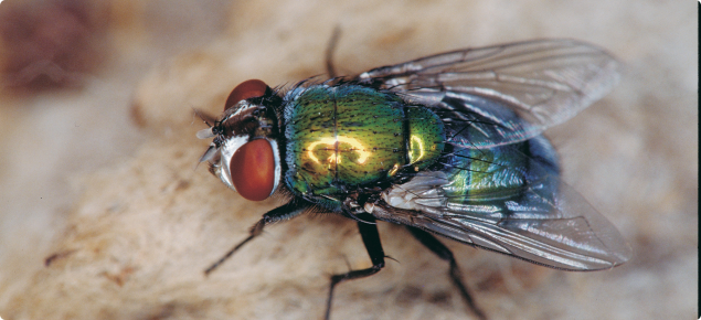 Lucilia cuprina - the main species of blowfly that initiates about 90% of all strikes is the Australian sheep blowfly