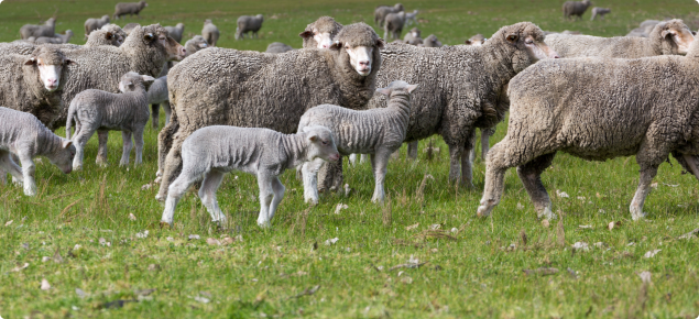 Merino ewes and lambs in the paddock.