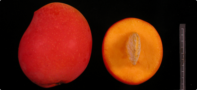 Fruit and seed of NMBP-1243