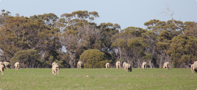 Sheep grazing pastures in spring