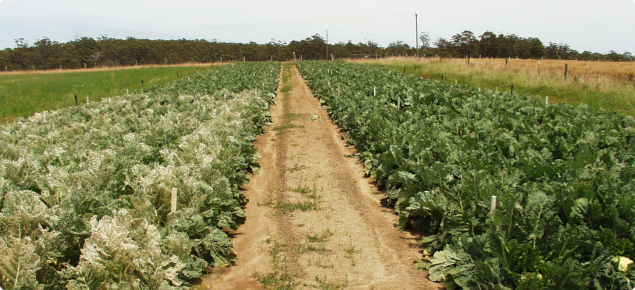 Diamondback moth is the most important pest of vegetable brassicas crops as shown here on the left in an untreated plot