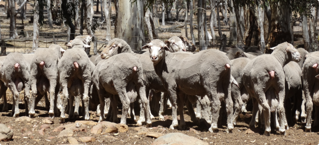 Young Merino rams ready for selection prior to mating.