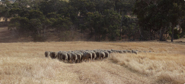 Merino ewes being taken to a paddock ready for mating.