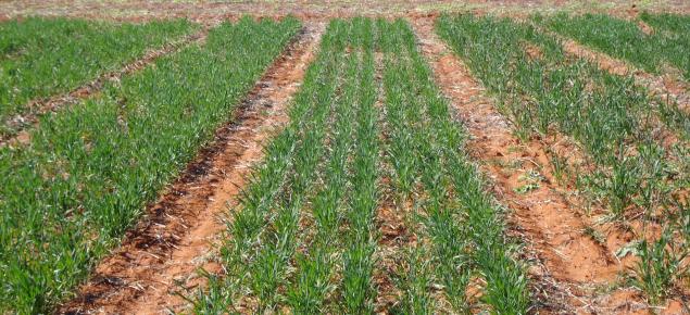 Picture of teh dry seeding seeding depth trial in Mullewa