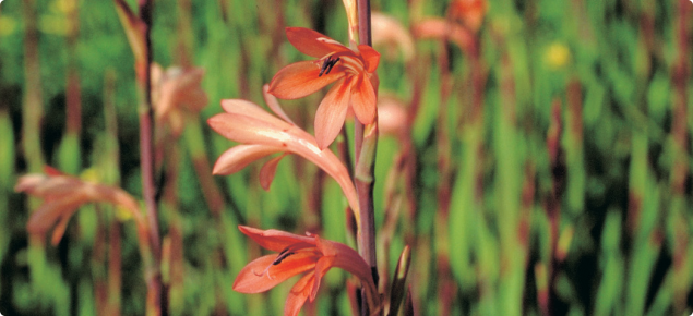 Field of bulbs with green strap foliage and flower spikes with apricot-orange tubular flowers.