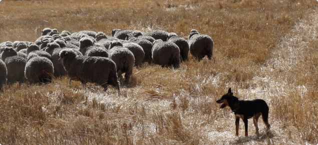 Merino ewes being moved onto dry stubble.