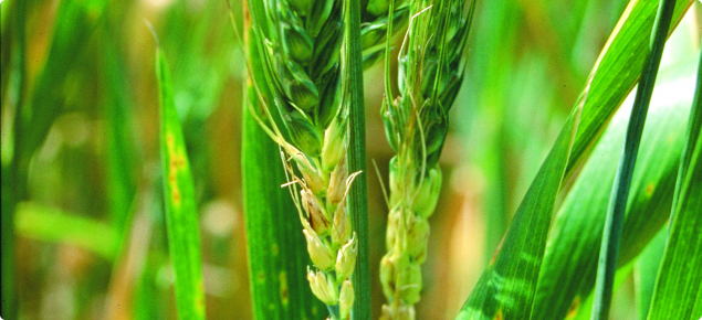 Wheat heads in a crop with the lower florets shrivelled with no grain developing due to frost damage
