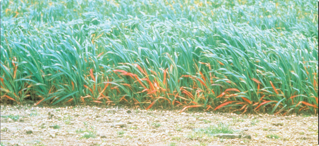 Barley yellow dwarf virus infection of oats