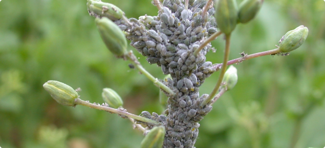 Cabbage aphid on canola flowering spike