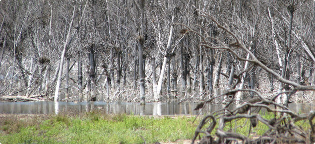 Pine plantation showing dead trees killed by rising watertable