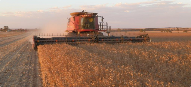 A International harvester harvesting lupins early evening