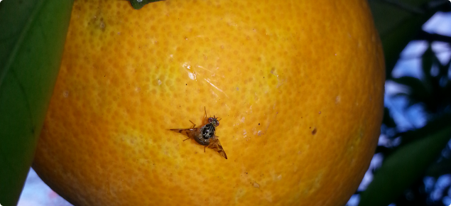 Citrus are hosts for Medfly year-round