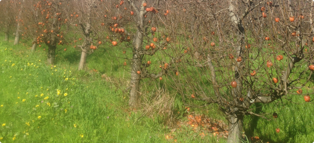 Unharvested apples