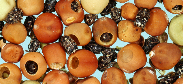 Unfumigated seed, showing exit holes and adult pea weevils